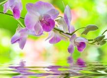 Roze Orchideebloem Royalty-vrije Stock Fotografie