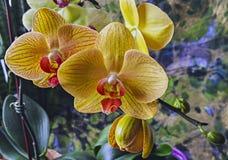 Roze orchideebloem Stock Foto's