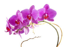 Roze Orchideebloem Royalty-vrije Stock Afbeelding