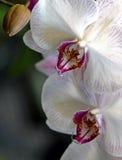 Roze orchideebloem Royalty-vrije Stock Afbeeldingen