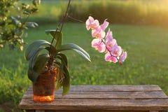 Roze orchideebloem in tuin Stock Afbeelding