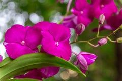 Roze orchideebloemen met natuurlijke bokehachtergrond Royalty-vrije Stock Afbeeldingen