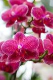Roze Orchideebloemen op Bladerenachtergrond Royalty-vrije Stock Fotografie