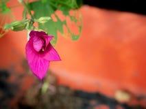 Roze Orchideeboom Bud Growing royalty-vrije stock afbeelding