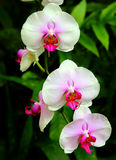 Roze orchideeën Royalty-vrije Stock Afbeelding