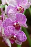 Roze orchideephalaenopsis Royalty-vrije Stock Fotografie