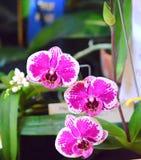 Roze orchideephalaenopsis Stock Foto