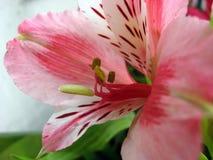Roze orhidea Stock Fotografie