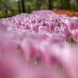 Roze Overzees Stock Afbeelding