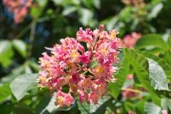 Roze paardekastanjebloemen op een achtergrond van groene bladeren stock afbeelding