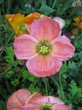 Roze Papaver Stock Afbeeldingen
