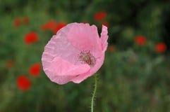 Roze papaver Royalty-vrije Stock Foto