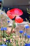 Roze Papaver op Bloemgebied Royalty-vrije Stock Afbeelding