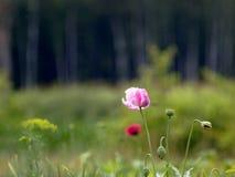 roze papaver op natuurlijke achtergrond Stock Fotografie