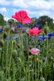 Roze Papavers op Bloemgebied Stock Fotografie