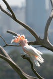 Roze papegaai stock foto's