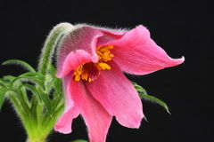 Roze pasquebloem Pulsatilla Royalty-vrije Stock Foto's