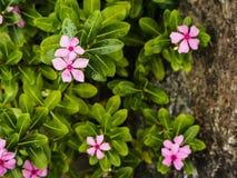 Roze pastelkleurbloemen Stock Foto's