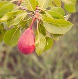 Roze peer op een tak van perenboom Royalty-vrije Stock Afbeelding