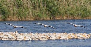 Roze Pelikaan, большой белый пеликан стоковая фотография rf