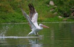 Roze pelikaan royalty-vrije stock foto's