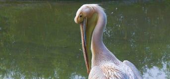 Roze pelikaan Stock Foto