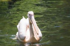 Roze pelikaan Stock Afbeeldingen