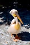 Roze pelikaan Royalty-vrije Stock Afbeeldingen