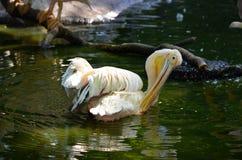 Roze pelikaan Royalty-vrije Stock Fotografie