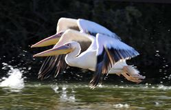 Roze Pelikaan, Great White Pelican, Pelecanus onocrotalus stock images
