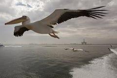Roze Pelikaan, Great White Pelican, Pelecanus onocrotalus. Roze Pelikaan in vlucht Namibie, Great White Pelican in flight Namibia stock image