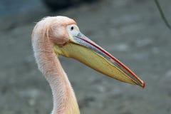 Roze pelikaanclose-up royalty-vrije stock afbeelding