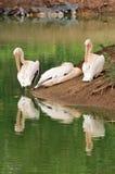 Roze pelikanen Stock Foto