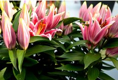 Roze Perfectielelies Stock Fotografie
