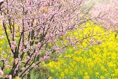 Roze perzik en van de pruim bloesem-bloem en zaailing de industrie Stock Fotografie