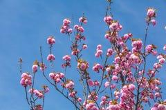 Roze perzik volledige bloei Stock Fotografie