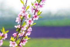 Roze perzikbloemen op een heldere vage achtergrond, perzikbloesems royalty-vrije stock afbeeldingen