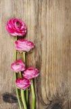 Roze Perzische boterbloemenbloem (ranunculus) royalty-vrije stock foto's