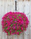 Roze petunia Stock Afbeelding