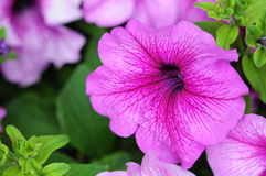 Roze petunia Royalty-vrije Stock Afbeelding