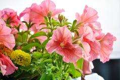 Roze petunia Stock Foto's