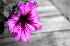 Roze petunia Royalty-vrije Stock Foto