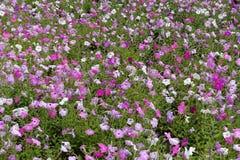 Roze petunia in bloei in juli Royalty-vrije Stock Afbeeldingen