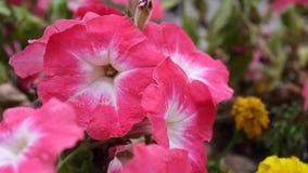 Roze petunia die in de wind slingeren stock videobeelden