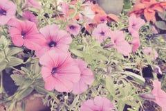 Roze Petuniabloemen in potten, de Kleurrijke installaties van de tuinpetunia Stock Afbeelding