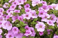 Roze Petuniaboeket Royalty-vrije Stock Foto's
