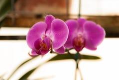 Roze Phalaenopsis-dans Stock Foto's