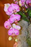 Roze Phalaenopsis-orchidee Stock Afbeelding