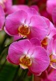 Roze phalaenopsisorchideeën in serre stock foto's