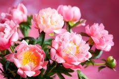 Roze pioen stock afbeelding